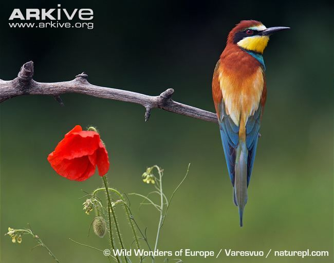 Most Famous Paintings Of Bee Eater