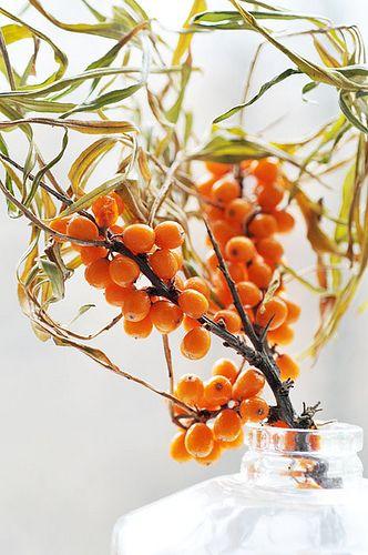 Considéré par plusieurs comme le fruit le plus complet de la nature, l'argousier contient 30 fois plus de vitamine C que l'orange et plus de 190 variétés de substances bioactives.