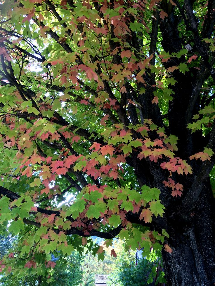 The glorious Sugar Maple know as the Theiler tree is right out the window  of Ruth s Garden cottage and out the front door of West Wing cottage. 13 best Favorite Places   Spaces images on Pinterest   Motel  Gem
