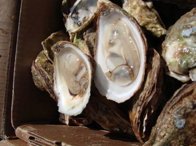 #Rocky Bay Oysters, #PEI http://www.futureseafoods.com