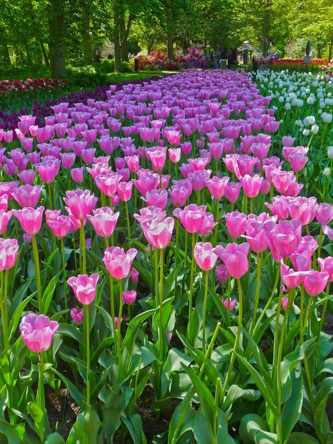 Field of Tulips Keukenhof Gardens Amsterdam Netherlands