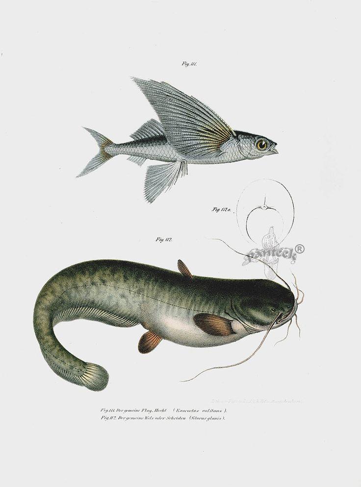 66 best Antique Fish Prints images on Pinterest   Antique prints ...