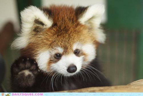 "Baby red panda, waving. Cue ""awwww!!!"""
