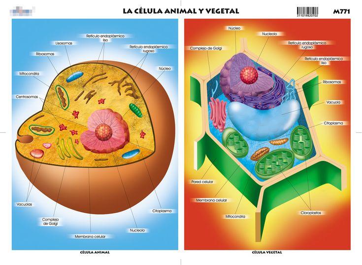 imagenes de la celula vegetal con sus partes - Google Search
