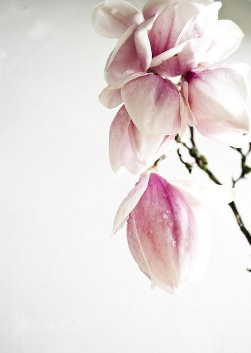 magnificent magnolias...Fairleigh I'm coming...