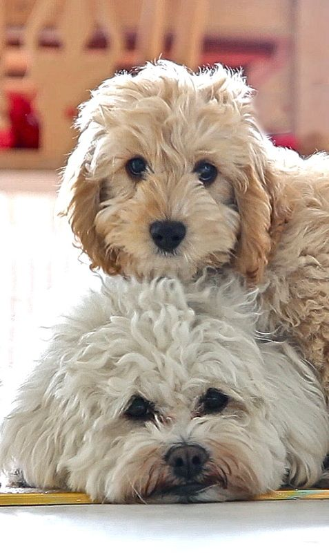 Photo gallery of Cockapoo puppies submitted by members of the Cockapoo Club of GB