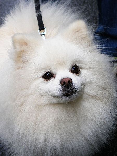 """It is best to brush when the fur is wet. You may bathe your Pom or you can use a spray bottle with a mixture of 90% water and 10% conditioner. Use coconut oil    One should brush AGAINST the natural growth; this aids in giving the """"fluff"""". Be sure to cover all areas, including the ears.    Use the grooming time for bonding with your Pomeranian.  Movements should be smooth and relaxing.  If you are in a hurry, choose a different time in the day to groom your Pomeranian."""