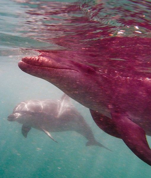 Rare albino dolphin spotted in the Mediterranean off ...  |Albinism In Dolphins