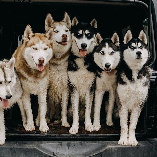 Alaskan Husky Huskies Types Of Huskies Siberian Husky Temperament