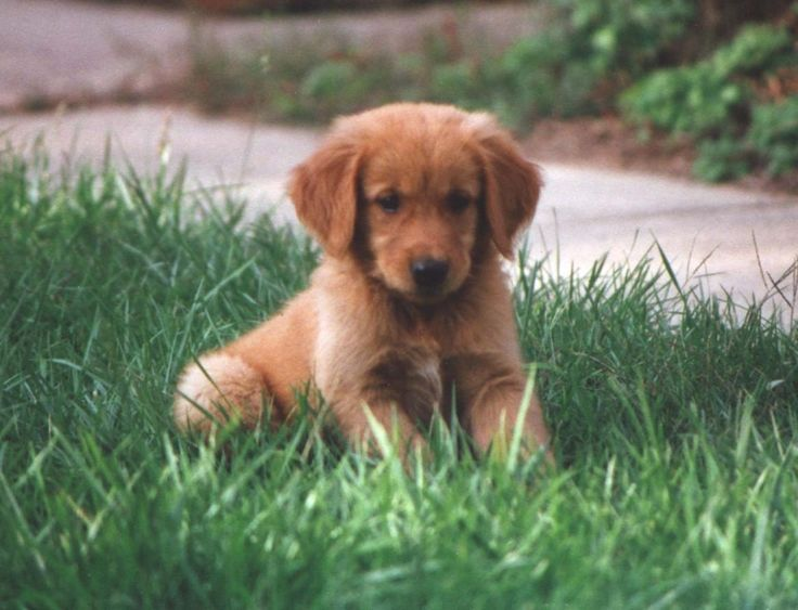 golden retreiver - how could you not love that face?!