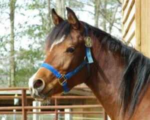 Meet Allie, a 3 year old VERY WELL BRED Arabian whose owner had to surrender her due to financial troubles. Come rescue this beautiful animal in Gordo, AL. Her sister Asa is also at the same location and is available for adoption.