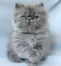 Persian kittens for sale vic