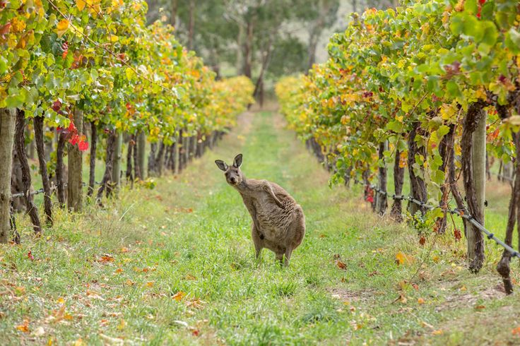 This is a Western Grey Kangaroo caught lounging in the wineries of the Adelaide Hills in South Australia. This past Autumn has been a spectacular time for wildlife viewing and I got lucky to spot this guy while mountain biking in the hills. Such a funny stance it just begs the question... Have you been drinking? ...and or... Are you here for the Winery Tour?