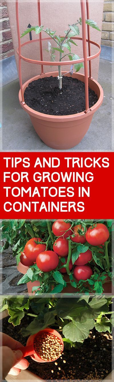 How to Grow Tomatoes in Containers