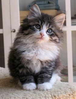Siberian kitten... cute! 75% of allergy sufferers don't produce symptoms around these cats
