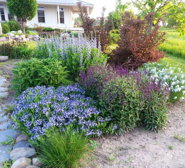 Image Result For Amsonia Blue Ice In A Perennial Bed Drought Resistant Landscaping Landscape Design Front Yard