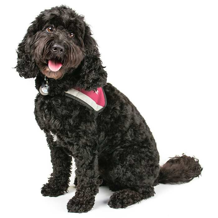 Cavoodle Dog Breed Information Grooming style, Dog