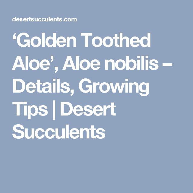 'Golden Toothed Aloe', Aloe nobilis – Details, Growing Tips   Desert Succulents