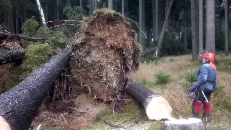 Very Dangerous tree felling Chainsaw Husqvarna 560 XP - Storm Herwart Eu...