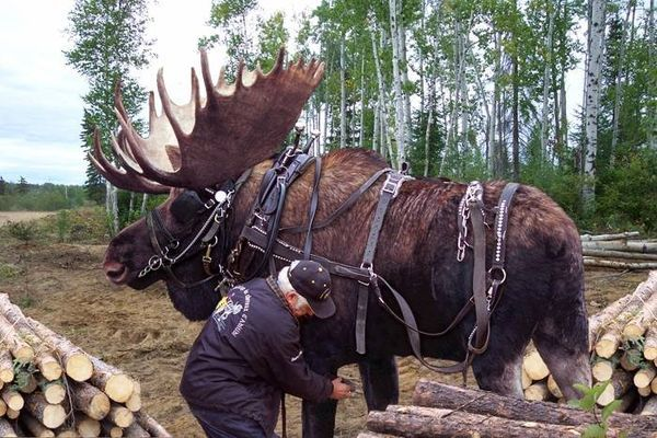 Minnesota Clydesdale - This guy raised an abandoned moose calf with his Horses, and believe it or not, he has trained it for lumber removal and other hauling tasks. Given the 2,000 pounds of robust muscle, and the splayed, grippy hooves, he claims it is the best work animal he has. He says the secret to keeping the moose around is a sweet salt lick, although, during the rut he disappears for a couple of weeks, but always comes home....  Thanks lotsagramgram on KP for sharing