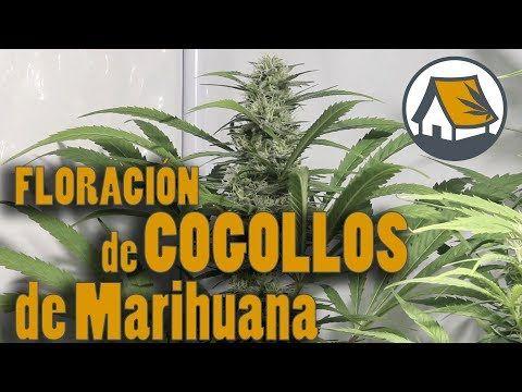 FLORACIÓN DE COGOLLOS DE LA MARIHUANA EN CULTIVO INDOOR DE VARIEDADES INDICA o SATIVA. Barraca 24