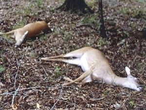 Two spotted deer killed after the consumption of poison!