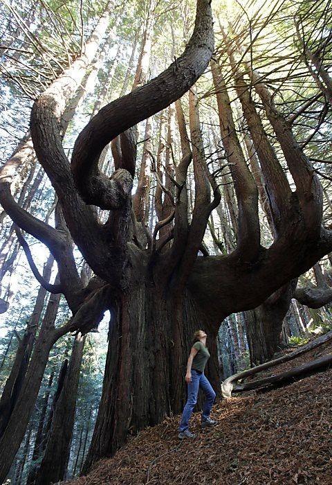 Un Séquoia candélabre de 500 ans Photo