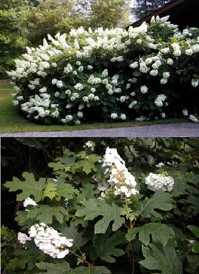 "Hydrangea quercifolia ""Snowflake"" (Hortensia à feuilles de chêne)"