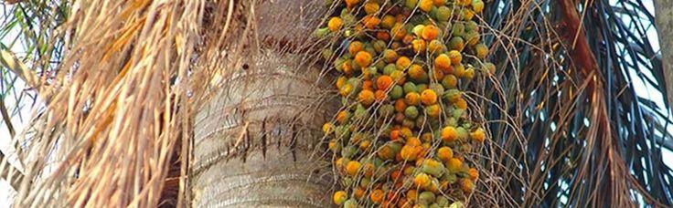 Palmeira Jerivá - Google Search