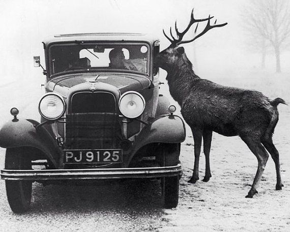 Nosy Reindeer Old Car Unusual Holiday Vintage Photography 1930s 1920s Christmas Black & White Photography Photo Print