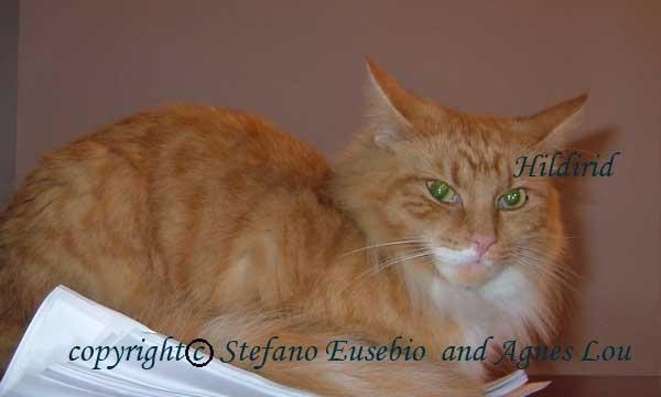 Hildirid Norwegian forest cat