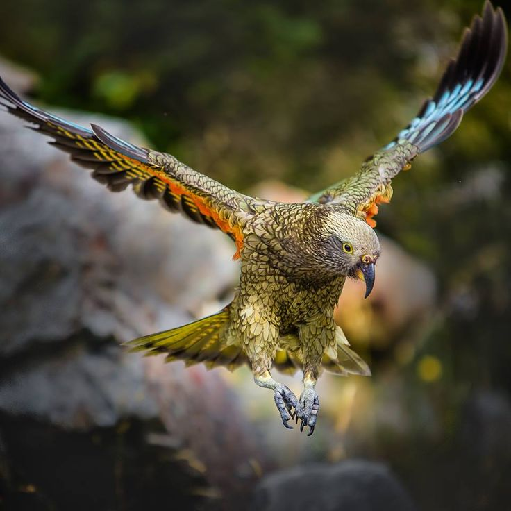 New Zealand Kea  Feel free to share but no other use without prior written consent.  © Chris McKay Photography 2015