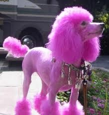 Pink poodle: Pink Divas, Divas Poodle, Pink Poodle Opawz, Small Dogs, Pink Things, Oh Poor Poodle, Ohpoor Poodle, Pink Pink, Poodle Luv