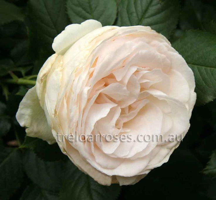 CLIMB. BLUSHING PIERRE DE RONSARD - Climbing rose