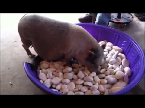 Enrichment and foraging for Pigs, Goats and Chickens. - YouTube