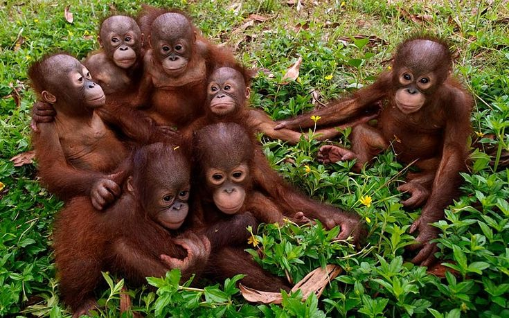 Pictures of the day: 28 April 2014 - Telegraph Orphaned orangutans huddle together for a 'family' portrait at the Orangutan Foundation International HQ in Borneo