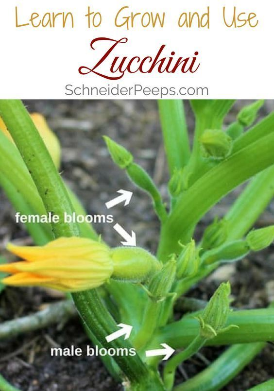 zucchini how to grow problems