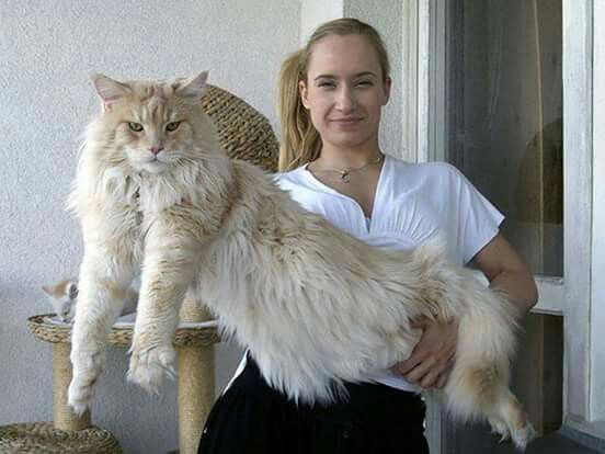 282 best extra large maine coon cats images on pinterest maine coon cats cats and norwegian forest cat