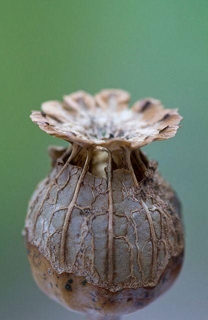 Telle une offrande servie sur une soucoupe... / Poppy Pod. / Gousse de graines de coquelicot.
