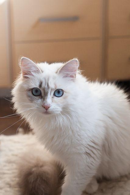 Luka, 8 month old cat neva, blue tortie bicolor