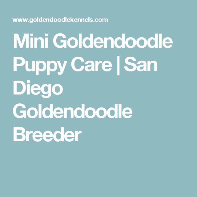 Mini Goldendoodle Puppy Care   San Diego Goldendoodle Breeder