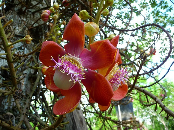 Tropical flower from Meta, Colombia, pictured by ivanrey969. Come and visit us at www.going2colombia.com