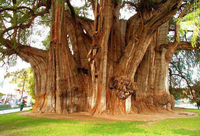 The Tree of Tule is a Montezuma Cypress tree located on church grounds in the state of Oaxaca. It has the stoutest trunk of any tree in the world. Age estimates ranging between 1,200 and 3,000 years. Local Zapotec legend holds that it was planted about 1,400 years ago by Pechocha, a priest of Ehecatl, the Aztec wind god ~ Santa Maria Del Tule, Mexico