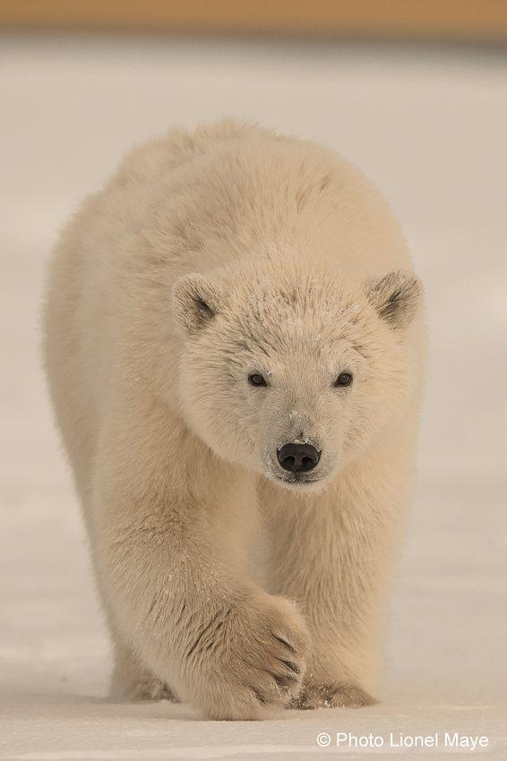 Populaire Les 25 meilleures idées de la catégorie Ours blanc sur Pinterest  UV57