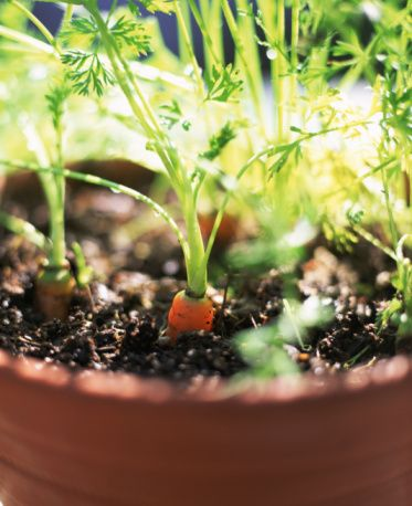 We enjoyed planting carrots.  Here is a great how to guide with tips and tricks.