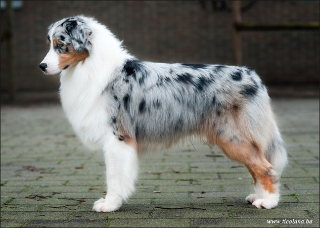 Australian Shepherd - Cash at 14 months old