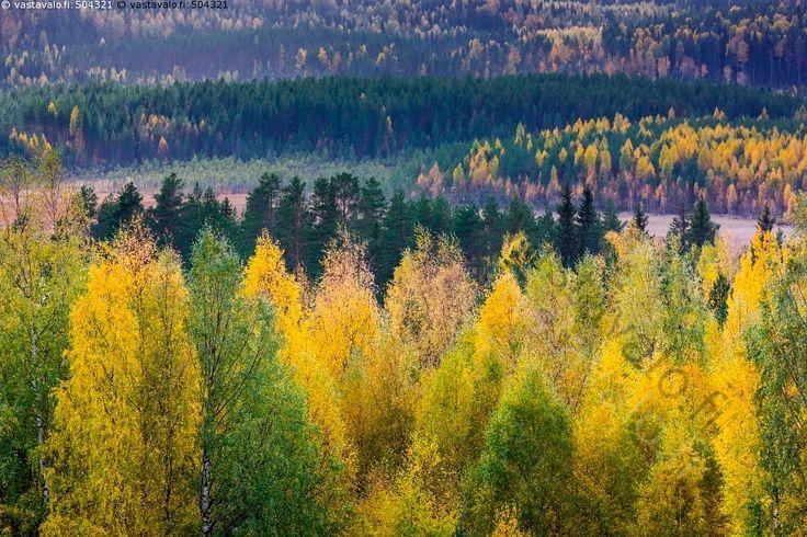 Vaaramaisema syksynväreissä - koivu koivut koivikko koivun runko metsä koivumetsä metsikkö  keltainen metsämaisema lehtipuu puu puut syksy koivukuitu taimikko kuusikko vaaramaisema latva latvat suo Eno
