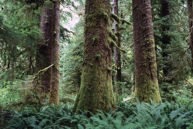 The old growth rainforest in Clayoquot Sound is home to some of the largest trees you will ever see ... Embrace the passion of the Wild Coast as your own http://romanceontheedge.ca