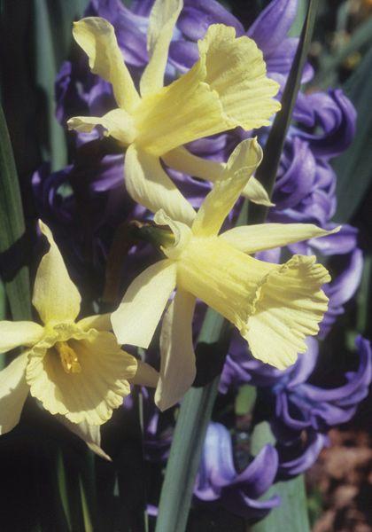 "Old House Gardens Heirloom Bulbs  ""WP Milner"" Daffodil"