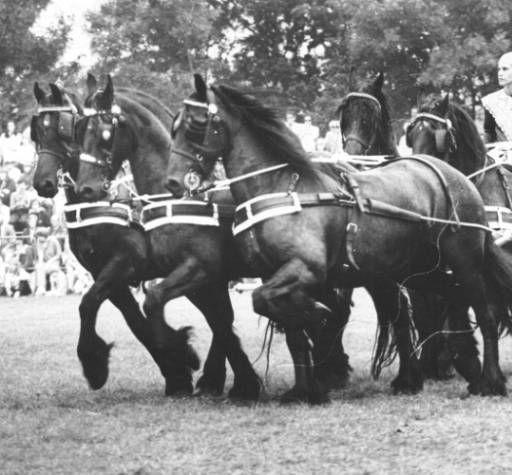 Tijdens het 100-jarig bestaan van het Friesch Paarden Stamboek in 1979 werd een vijfspan Friese paarden gereden door het echtpaar Kuipers. Tags: Fries paard, Frysk hynder, Friesian horse